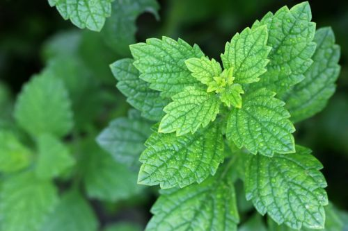 Bitter Herbs for Gut Health: Digest Well to Be Well